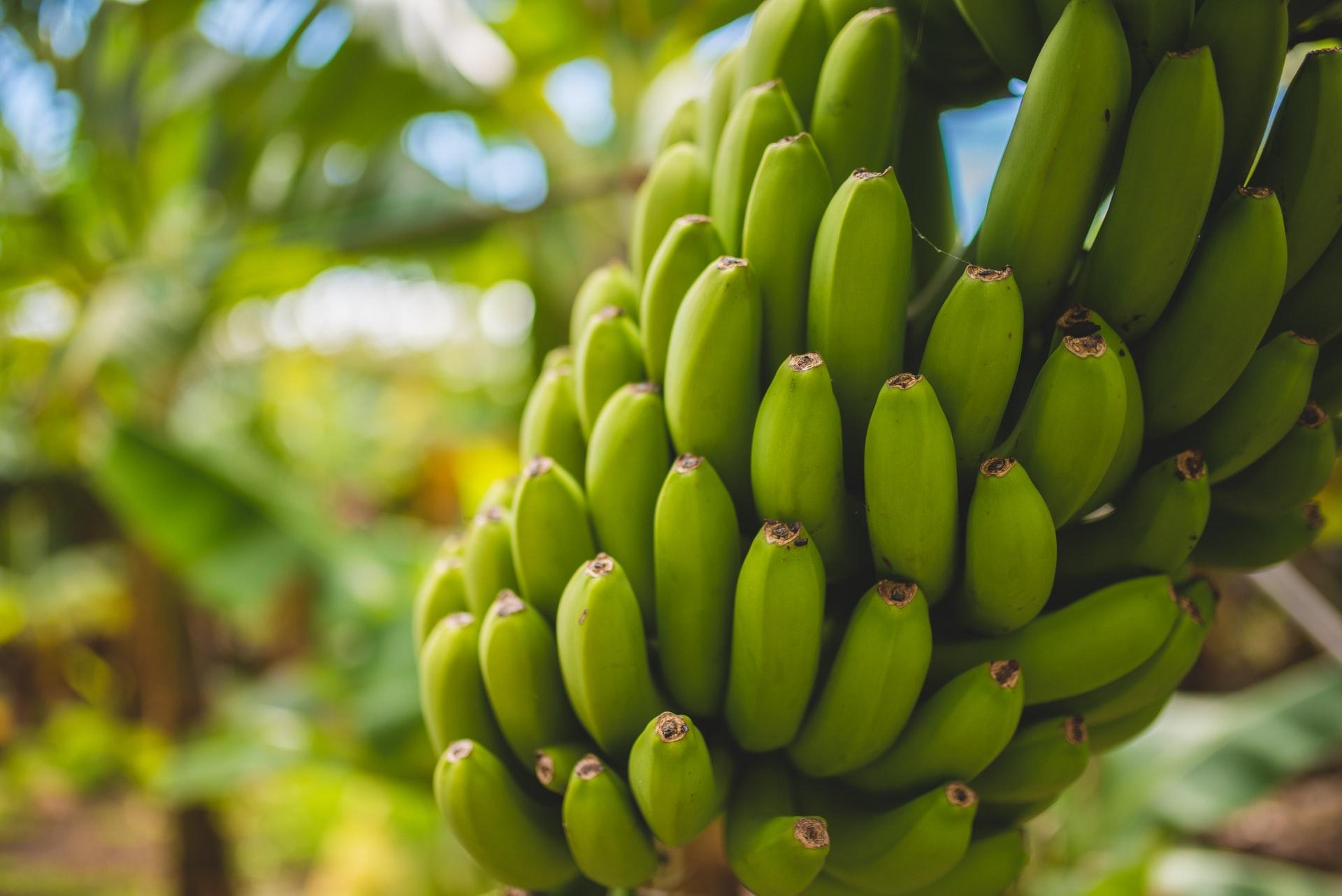 En Ouganda, l'entreprise TexFad sublime les déchets de banane